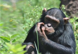 Photo of Ngamba Island Chimpanzee Sanctuary