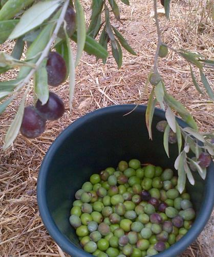 The Olive Grove Photo