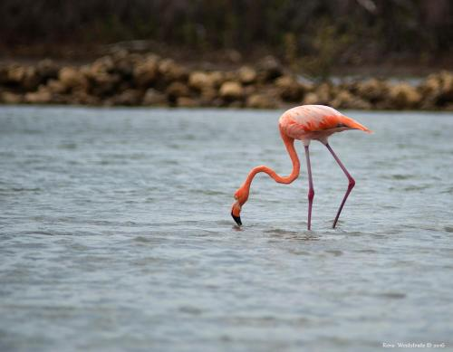 Flamingo Park Curacao Photo