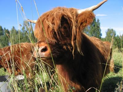 Highland Cattle Farm