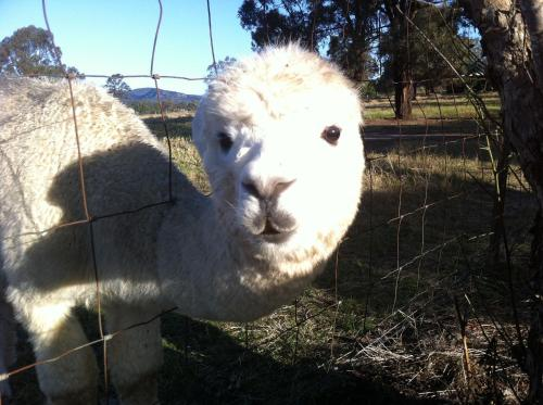 Starline Alpacas Farmstay Resort