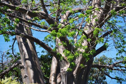 Les Baobabs, Bandrélé